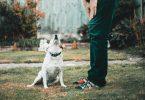 dysplasie hanche chien